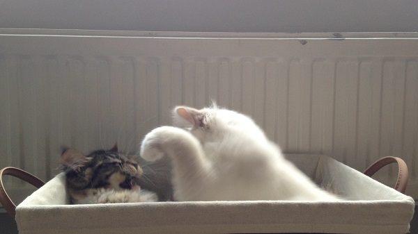 kitten kopen